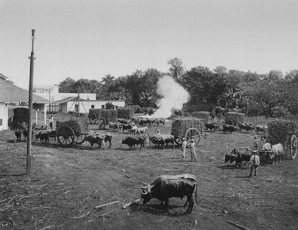 1898_harvesting_sugar_cane_in_cuba.jpg