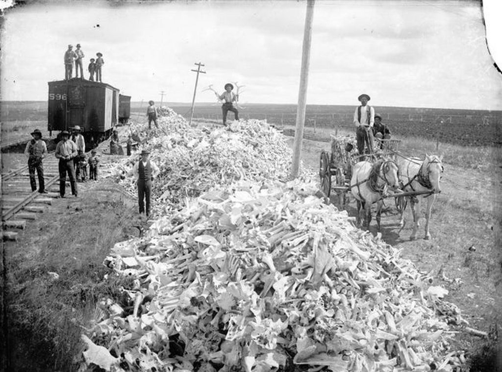 1893_bison_bones_gathered_from_the_prairie_for_shipment.jpg