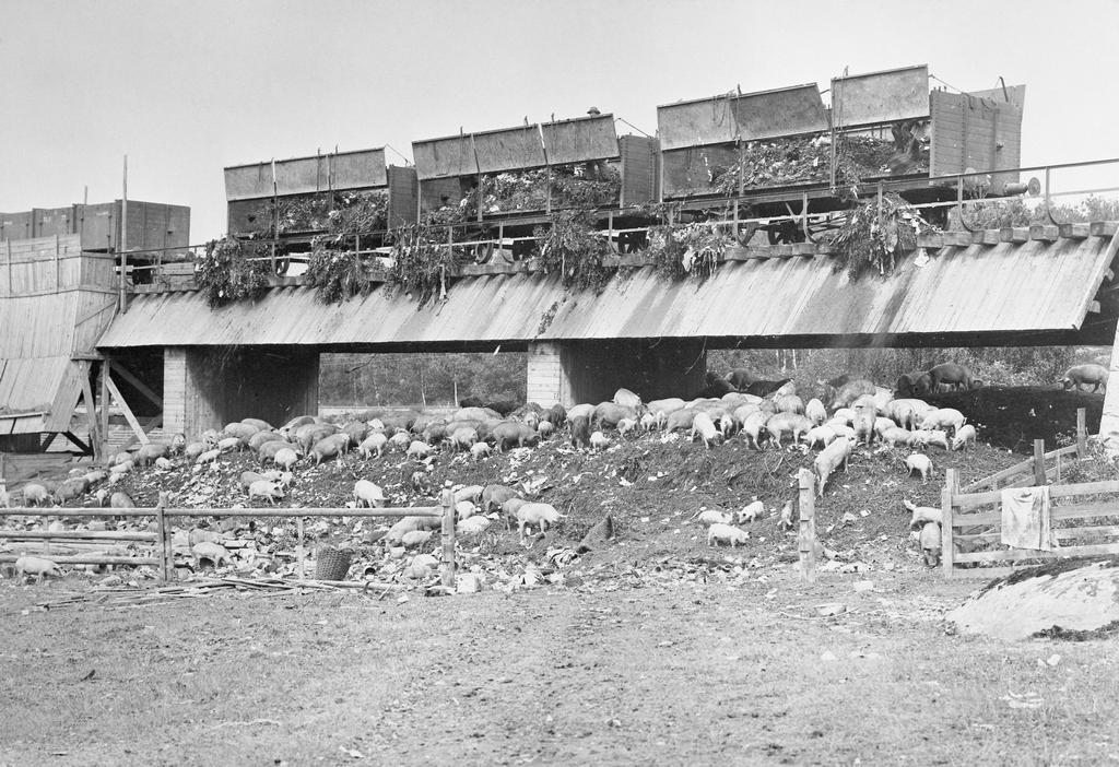 1898_a_herd_of_pigs_feasting_on_garbage_at_the_city_dump_they_were_raised_for_slaughter_and_the_garbage_they_refused_to_eat_was_sold_as_fertilizer_stockholm_sweden.jpg