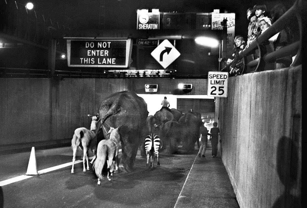 1971_ntionwide_rail_workers_strike_ringling_brothers_and_barnum_bailey_circus_animals_stranded_in_south_kearny_were_marched_through_the_lincoln_tunnel_to_madison_square_garden.png