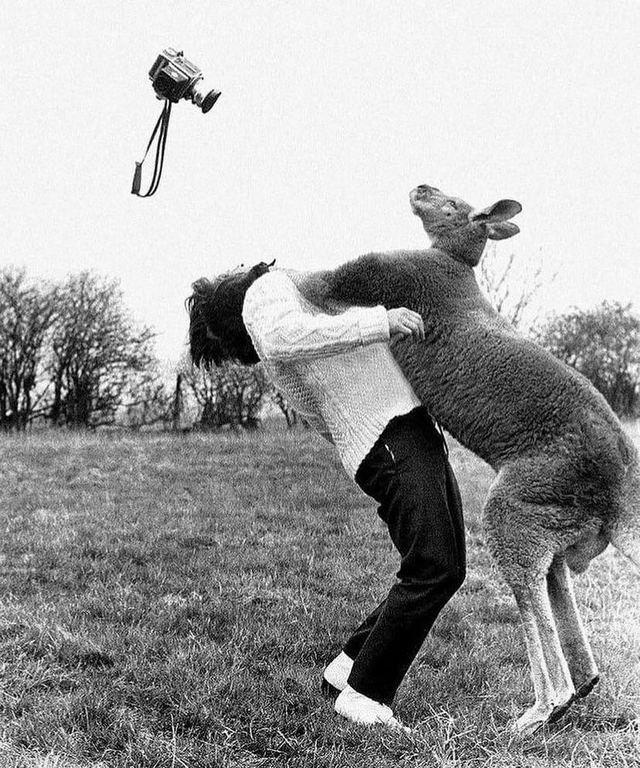 1962_photographer_john_drysdale_attacked_by_kangaroo.jpg