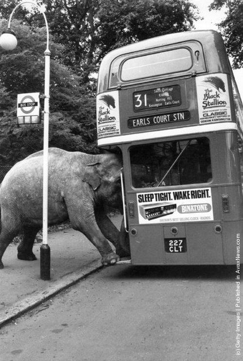 1980. A David Smarts cirkusz egyik elefántja próbál buszra szállni az Earls Court-on..jpg