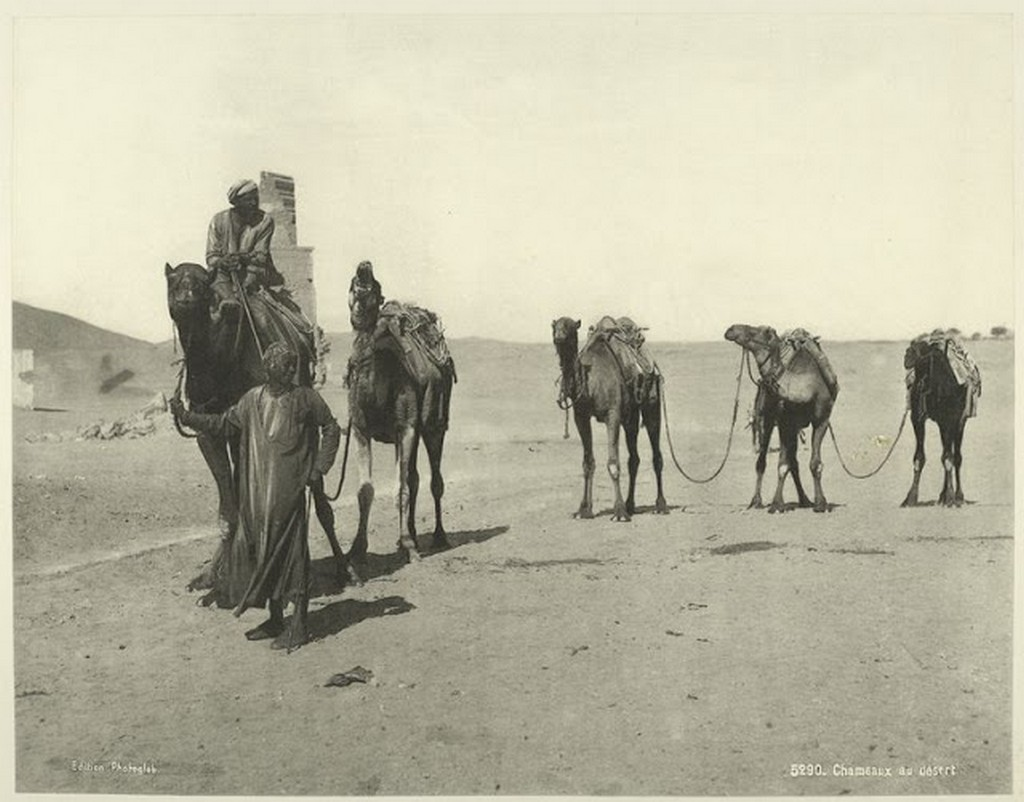 Camels in the Desert.jpg