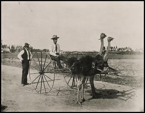 1914. Struccvontatású kordé. Egy struccfarm tulajdonosa teljesen lemodott a lovakról, amikor struccaitól mindig megvadultak..jpg