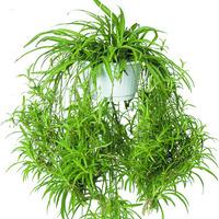 Chlorophytum comosum, a dzsungelhangulat
