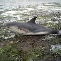 Nyolcvanhárom delfint fojtottak vízbe brazil halászok