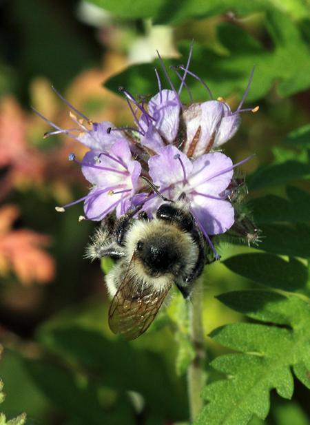 Fekete méh nemi helyzet