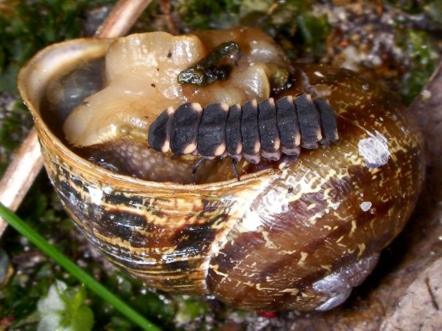 larva12_csiga.jpg