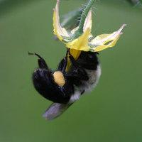 Méhek általi beporzást igénylő kultúrnövények