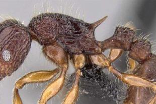 A nazgul, a jedi és társaik: új hangyafajok Madagaszkárról (mRNS.hu )