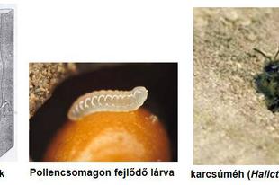 A méhek fejlődése II.