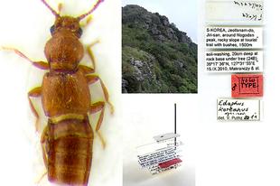 Tudományra új fajt írtak le  a Magyar Természettudományi Múzeum dél-koreai expedícióján gyűjtött holyvaanyagából