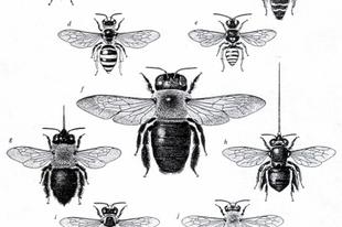 Amit a méhekről (poszméhekről) feltétlenül tudni kell