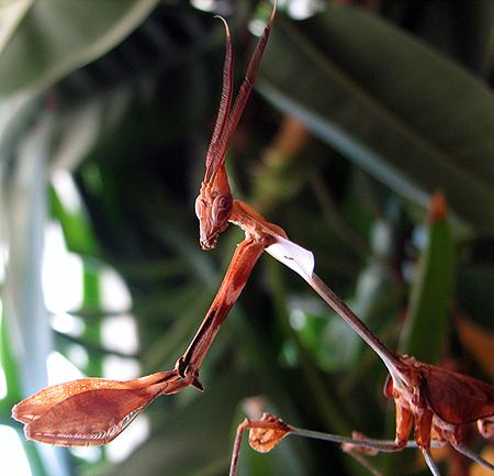 Gongylus gongyloides hím_web.jpg
