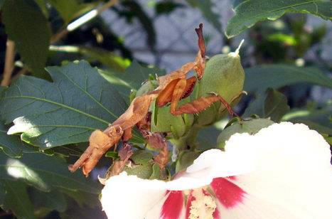 Phyllocrania paradoxa adult nőstény_web.jpg