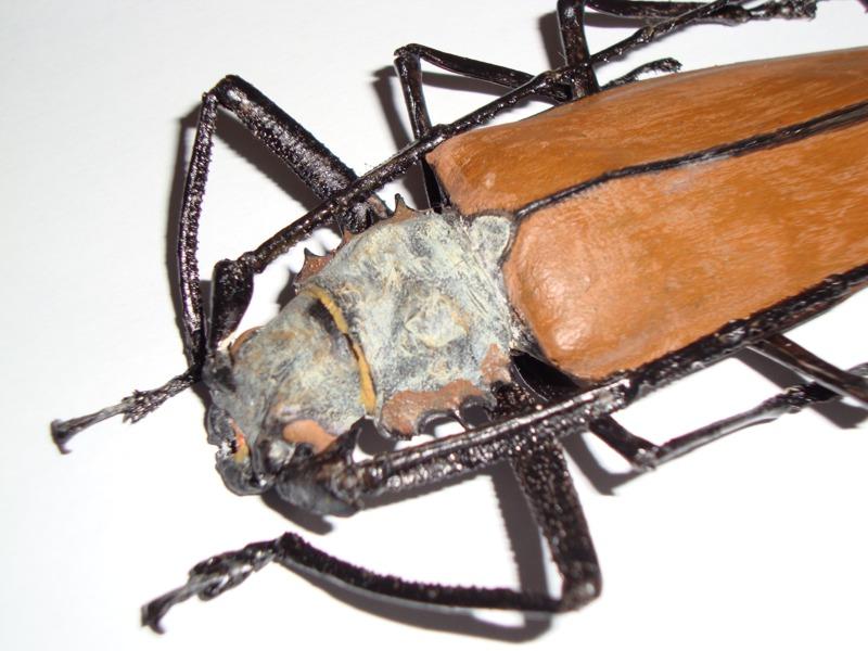 c.armillathus detalhe.jpg