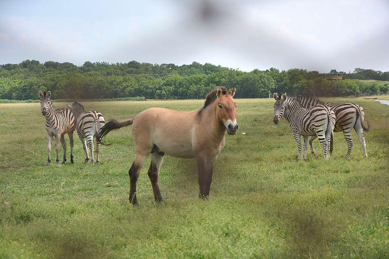 askania_steppe_przewalski_s_horse_01_yds_1676.jpg