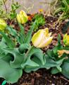Kora tavaszi virágkarnevál a kertünkben