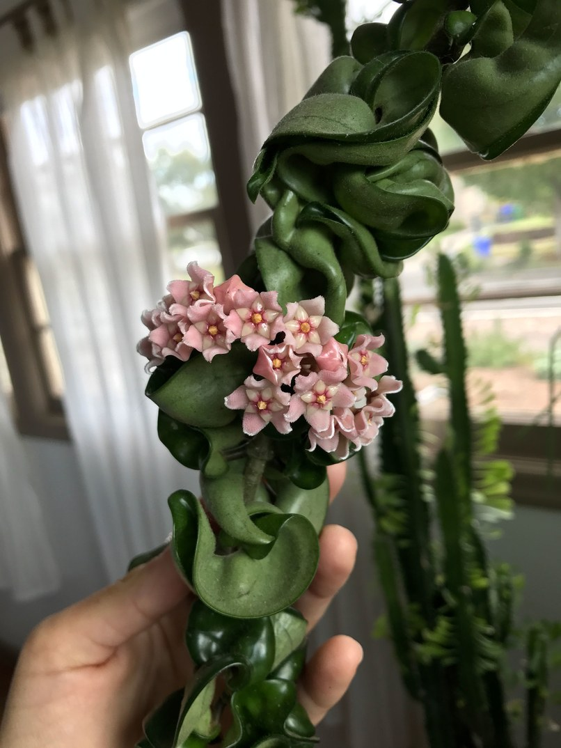 popular-houseplants-hindu-rope-hoya-blossoms.jpg