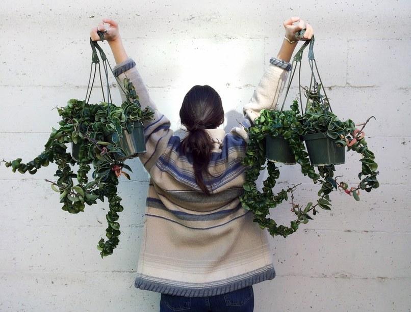 popular-houseplants-hindu-rope-hoyas.jpg