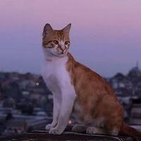 Kedi – Isztambul macskái / Kedi (2016)