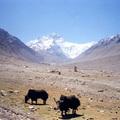 Tibetma