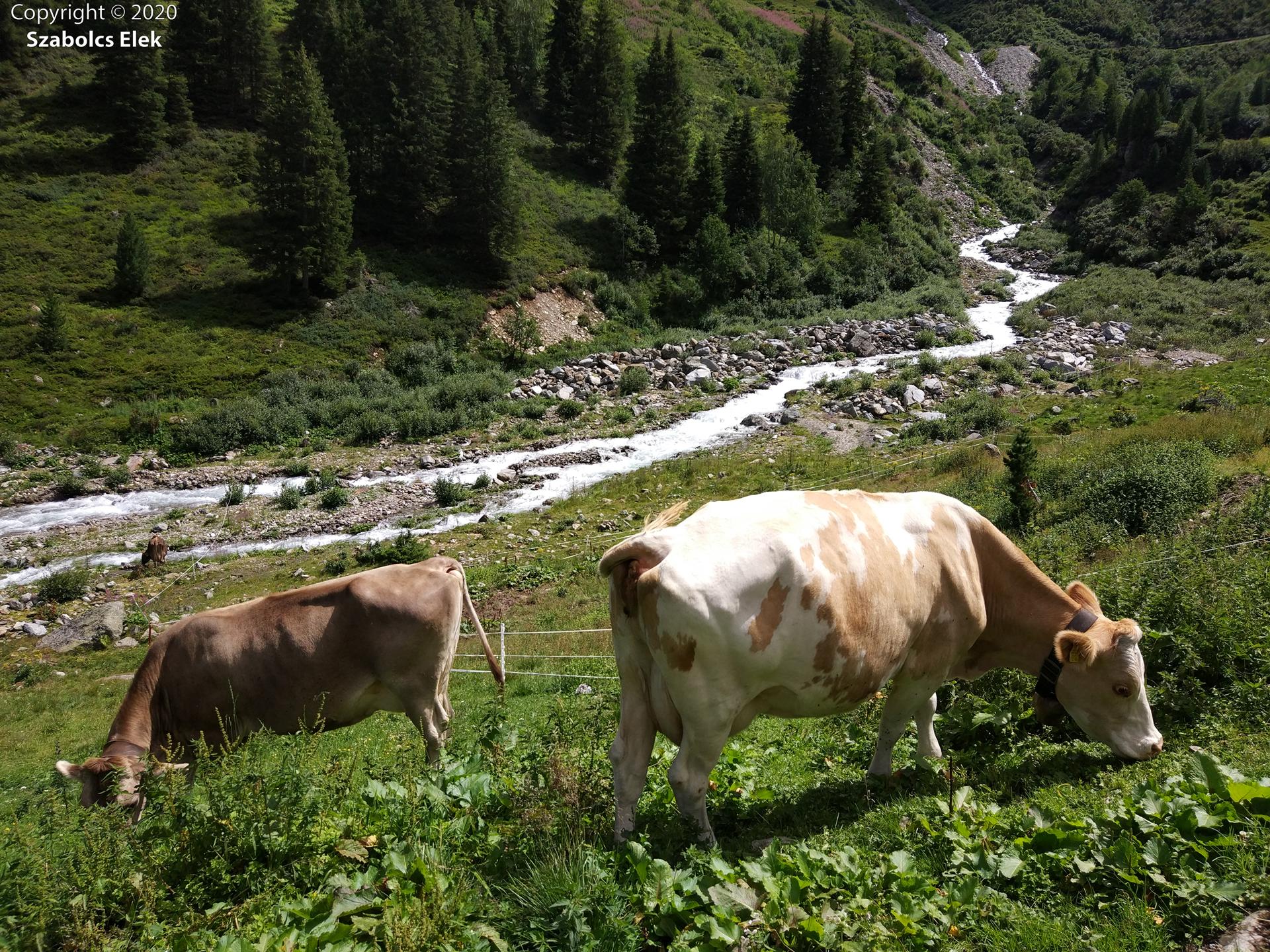 Alpesi tehenek
