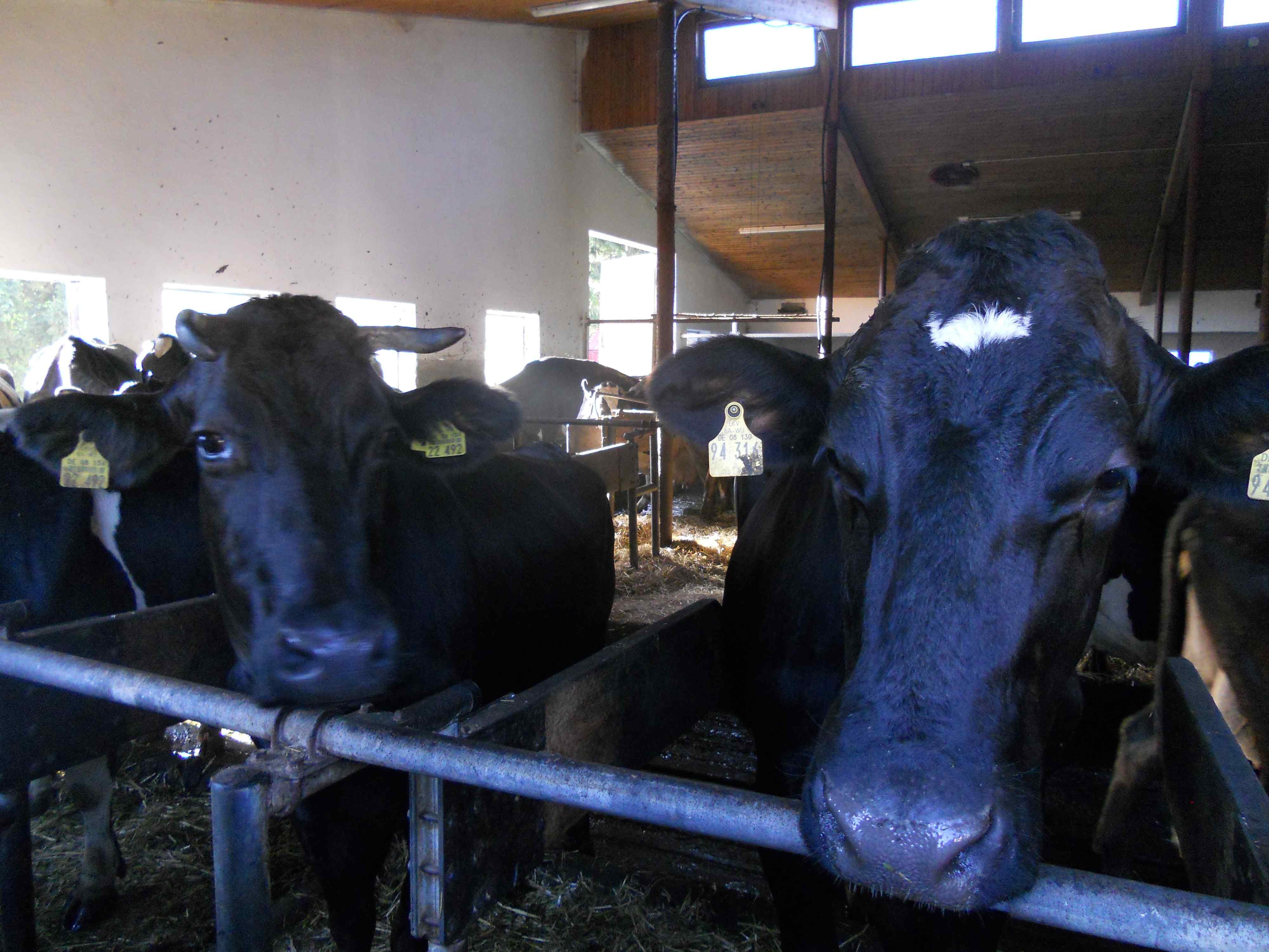 biodinamikus tehenek - eredetileg 50 tehene volt a gazdának, ma már csak 30, mert ennyi is elég nekik