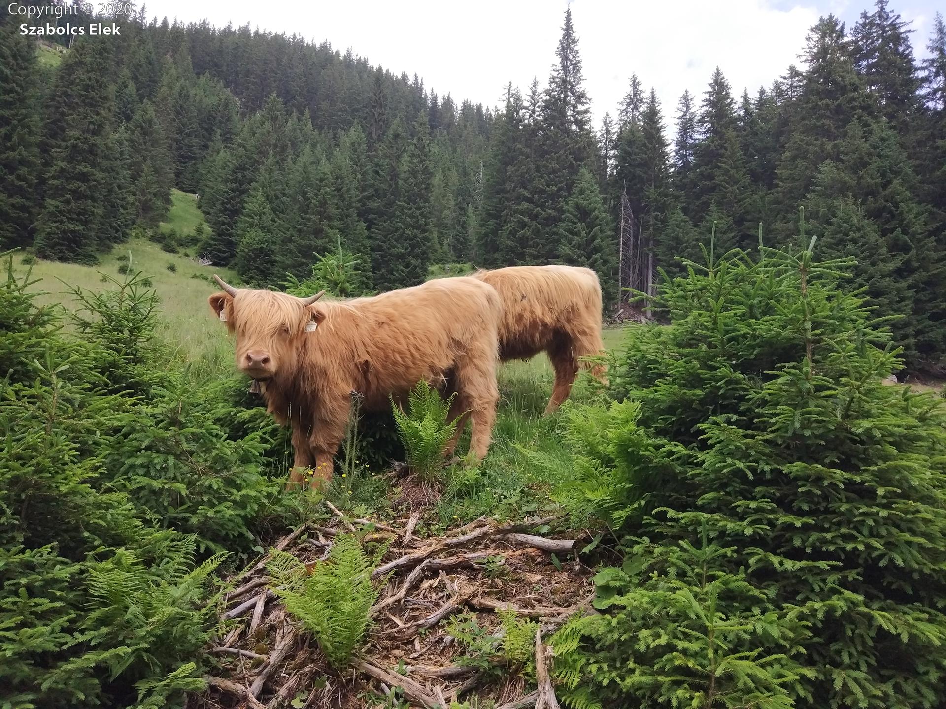 Skót felföldi tehenek nyaralnak Ausztriában