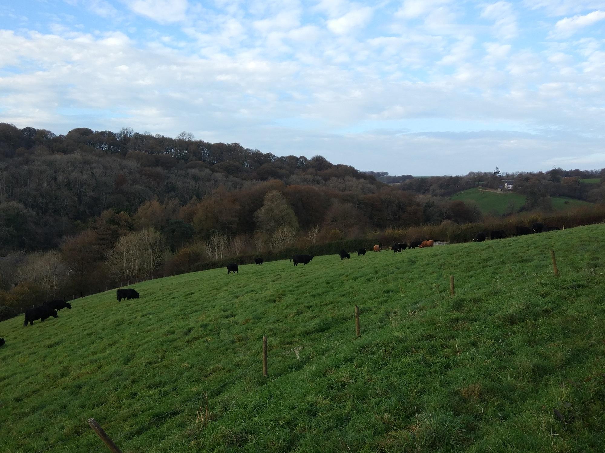 Örökzöld mezők és a farm Welsh Black tehenei