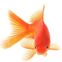 Az aranyhal három kívánsága