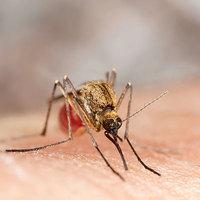 Malária lárma