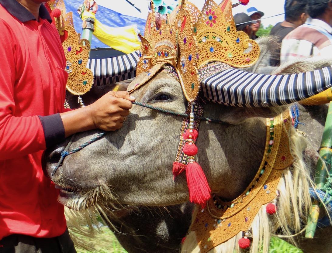 Makepung: hagyományőrző bikafuttatás Balin