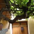 Legöregebb szőlőnk sarja