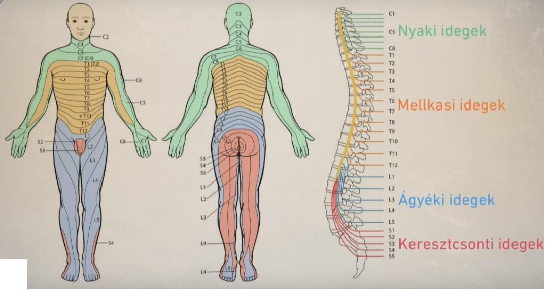 az idegrendszer széles szalagrendszere