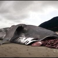 Létezhet megalodon napjainkban is az óceánok mélyén? [10.]
