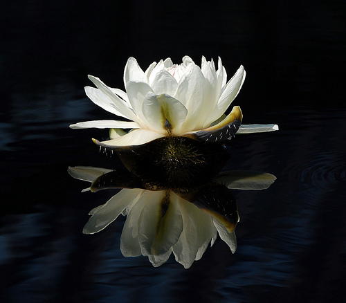 fehér lotus_ayurveda.jpg