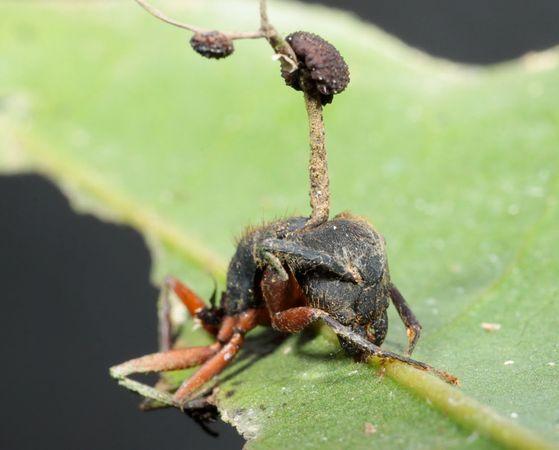 gomba parazita zombi rovarok)