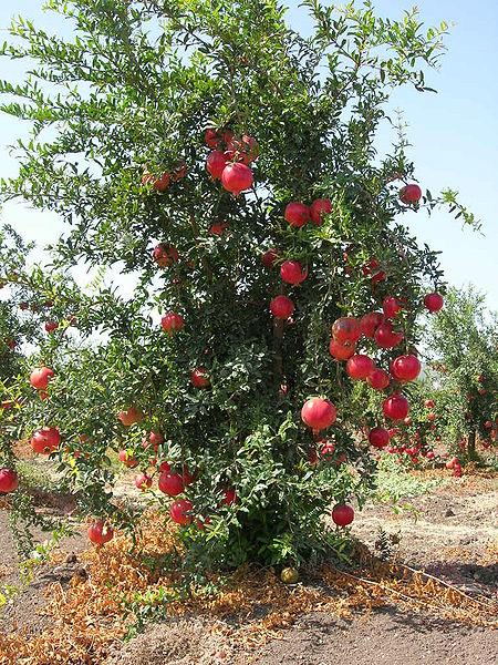 450px-Pommegranate_tree01.JPG