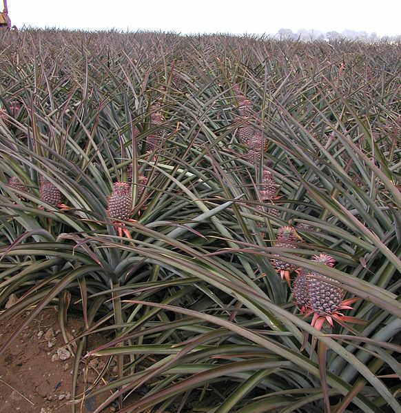 582px-Upcountry_Maui_Pineapple_Fields.jpg