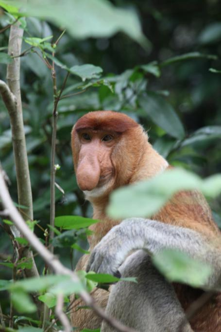 Borneo-Tree-House-3-Proboscis-Monkey1.jpg