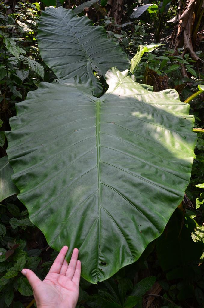 konnyezo palma levele