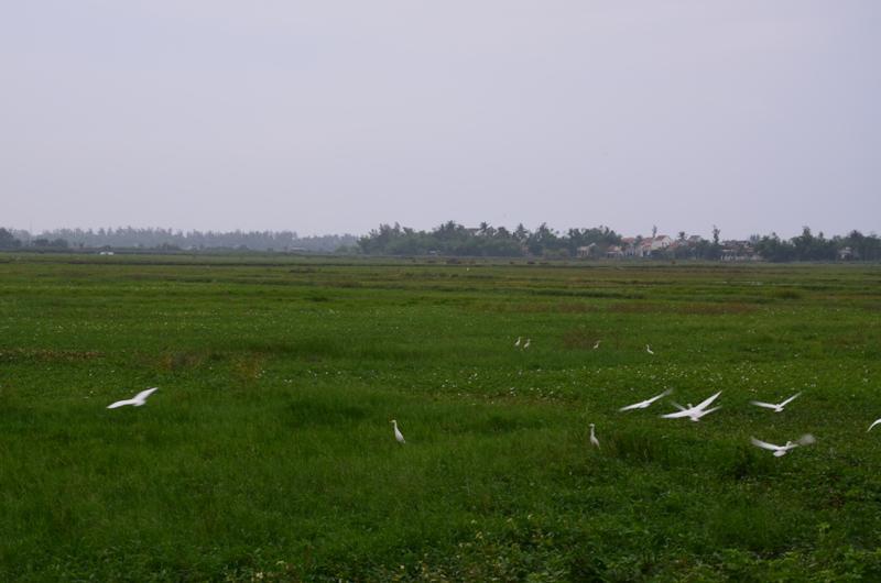 feher kocsagok a zold rizsfoldeken