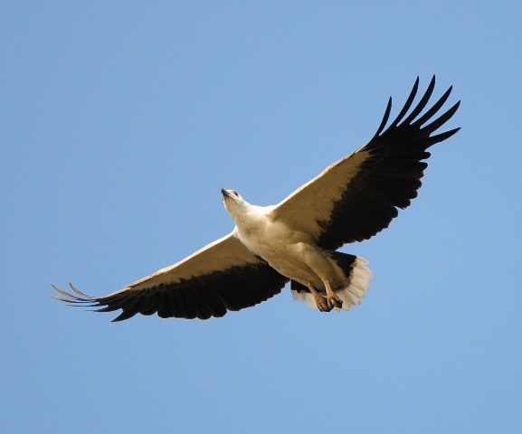 Haliaeetus_leucogaster_-Karwar,_Karnataka,_India-flying-8-4c.jpg