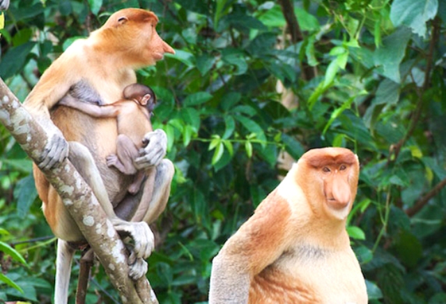 Proboscis-monkeys_1.jpg