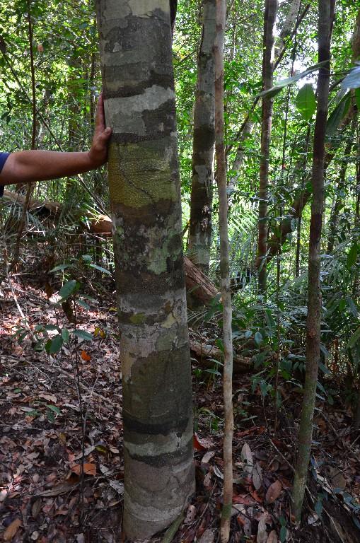 a terepmintas torzsu fa