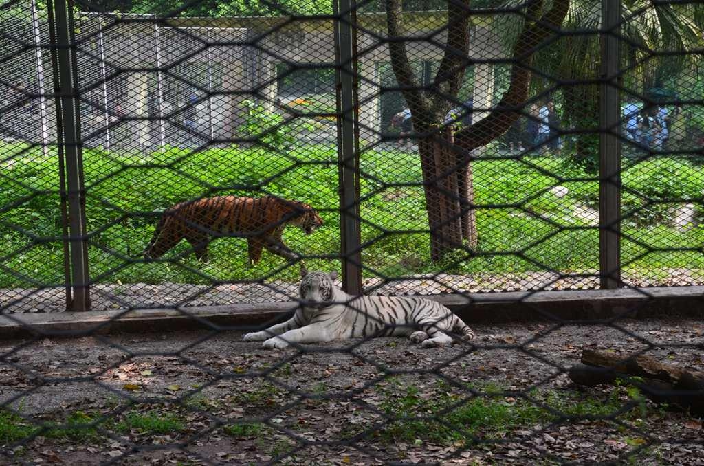 del-kinai tigrisek