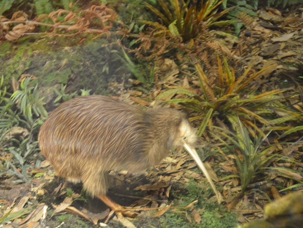 kiwi madar