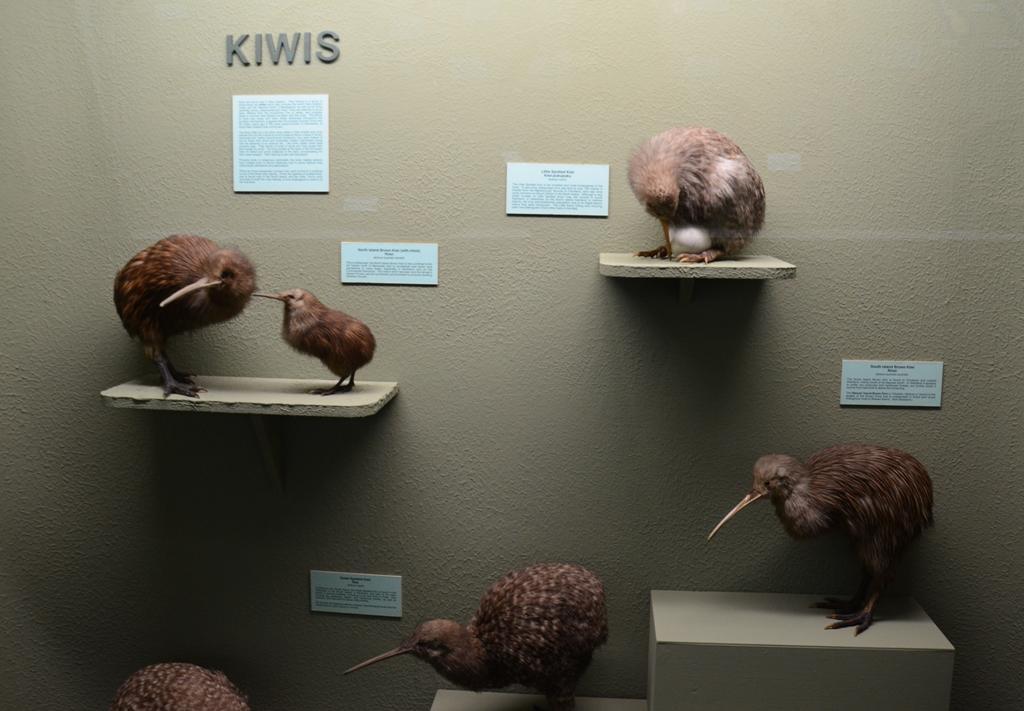 A kiwi madar Új-Zéland szimbólumává vált. Es hogy miert hivjak oket magukat is kiwiknek? Egyszeru a magyarazat:<br />A világháború során a nemzetiségek különböző emblémákkal különböztették meg magukat, az Új-Zélandiak a kivi madár emblémáját varrták fel a zubbonyukra. Így a harcos társak kiwinek becézték őket, majd az idő múlásával az elnevezés kiterjedt az egész lakosságra.