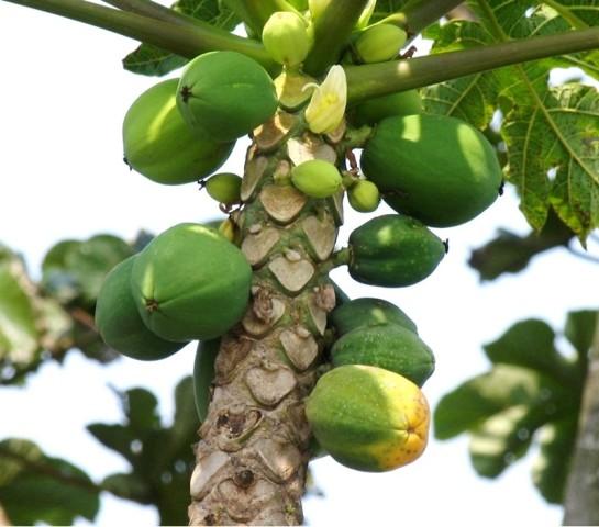 papaya_tree.jpg